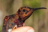 Colibri topaze (Topaza pella) © Marguerite Delaval