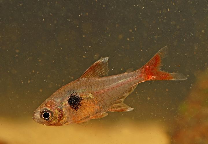 Espece-de-mares-et-de-bras-morts-Megalamphodus-roseus F.-Melki-Biotope