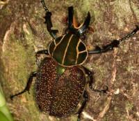 Grand coléoptère de la sous-famille des Trichiinae Inca clathrata © SEAG