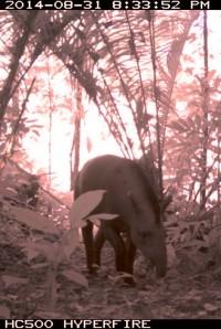 Tapir Tapirus terrestris © RN Trinité