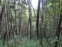 Forêt basse d'inselberg Luc Ackermann